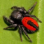 thPhidippus_johnsoni_color_pattern_cropped.jpg